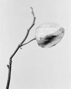 Robert Voit, »Physalis alkekengi, Lampionblume«, 2014, Foto: © Robert Voit